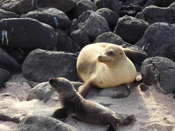 Seals at the Galapagos with Adventures by Disney